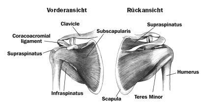 Aufbau der Schulter mit Rotatorenmanschette