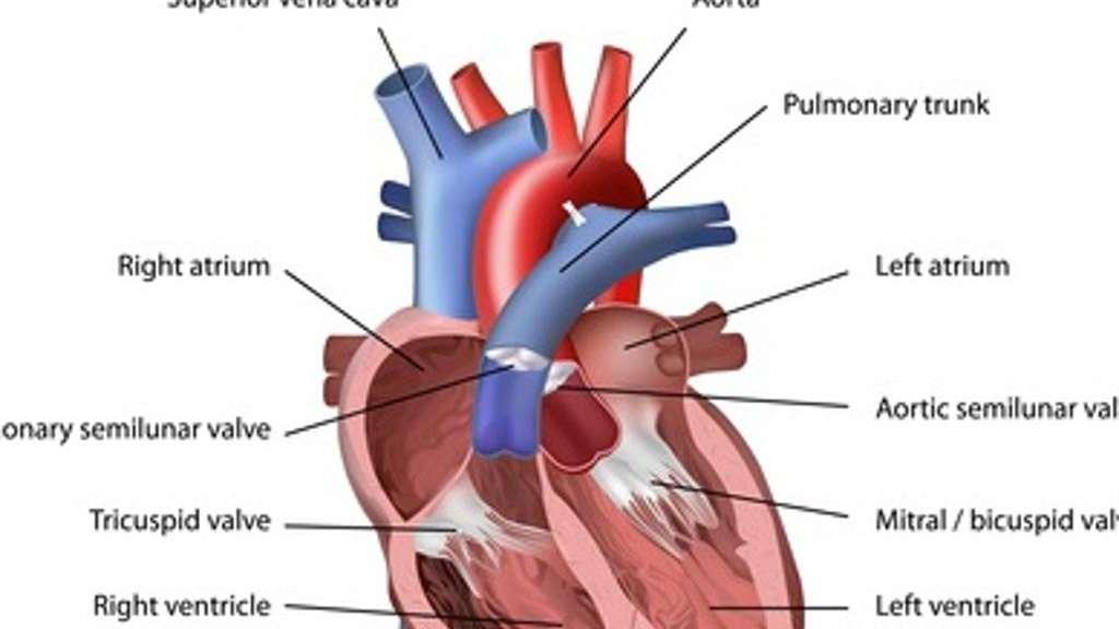 Berühmt Herz Kreislauf Test Anatomie Und Physiologie Zeitgenössisch ...