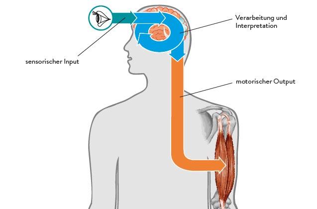 Die Arbeitsweise des Gehirns und des zentralen Nervensystems