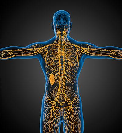 Das Lymphsystem dient sowohl der Nährstoffaufnahme als auch dem Abtransport von Giften und Stoffwechselendprodukten