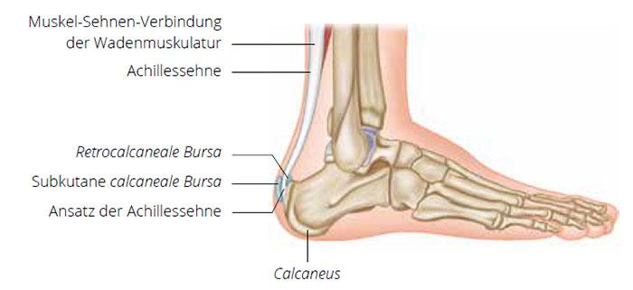 Der Waden-Achillessehnen-Komplex