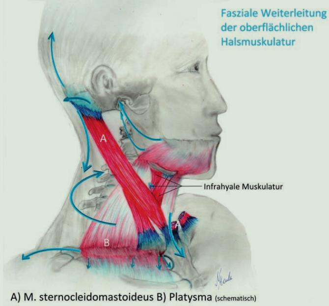 Die oberflächliche Halsmuskulatur