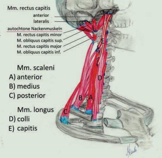 die tiefe Halsmuskulatur