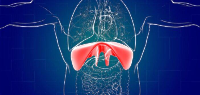 anatomie und aufbau des zwerchfells
